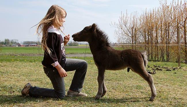 Miniatyrhäst till salu