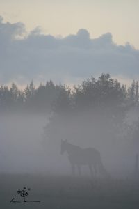 Horse in misty summer evening